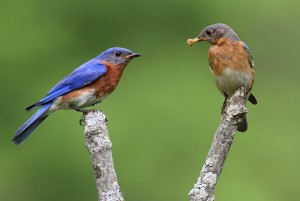 Bluebird Couple in Relationship