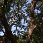 aging tree