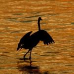 Twilight egret dance
